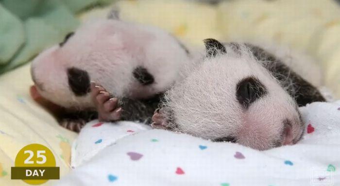 panda25