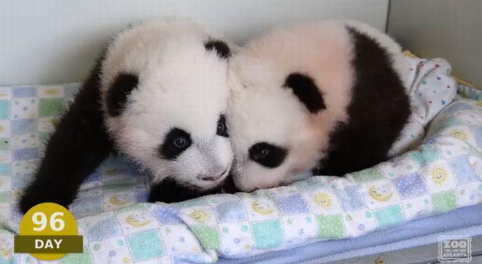 panda96